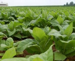 Reseave_La-planta-de-tabaco